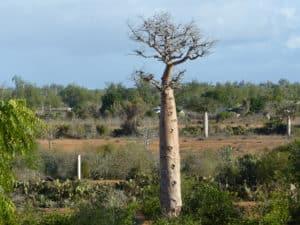 Baobab à Mangily - Bel Avenir