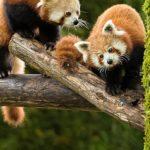 Partage Alsace - Journée du panda roux